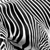 Zebra Geography Stock Images