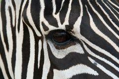 Zebra-Gesicht Stockbild