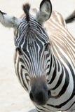 Zebra-Gesicht Lizenzfreies Stockfoto