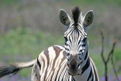 Zebra-Gesicht lizenzfreie stockfotografie