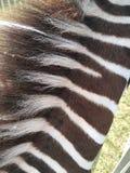 Zebra gestreifter Grunge Hintergrund lizenzfreie stockfotos