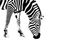 Zebra getrennt auf Weiß Stockbild