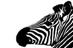 Zebra getrennt auf Weiß Lizenzfreies Stockfoto
