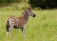 Zebra giovanile di Burchells Immagini Stock