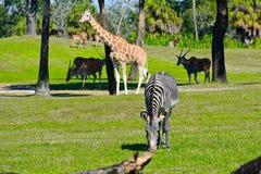 Zebra, Giraffe and antelopes on green meadow at Bush Gardens. royalty free stock photos