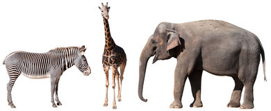 Zebra, Giraffe and Elephant Stock Images