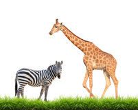 Zebra  giraffe with green grass isolated Royalty Free Stock Images