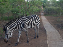 Zebra with giraffes following in Zambia Royalty Free Stock Photography