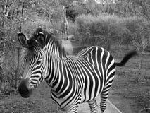 Zebra with giraffes following in Zambia Stock Photo