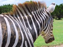 Zebra. This Zebra gives a great side profile as it walks away, showing it's beautiful strips royalty free stock images
