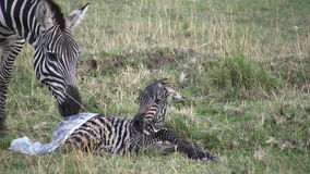 Zebra giving birth