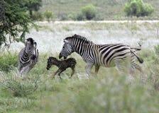 Zebra Giving Birth stock photo