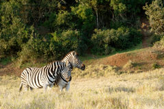 A Zebra giving a good rub against the other Royalty Free Stock Photos
