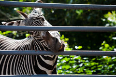 Zebra gnawing iron cage Royalty Free Stock Photo