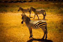 Zebra and gnus  - Tanzania Royalty Free Stock Image