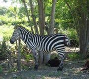 Zebra And Goats Stock Image