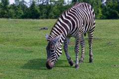 Zebra is going through the grass Royalty Free Stock Image