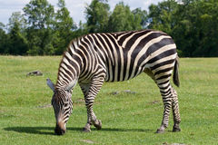 Zebra is going through the grass field Royalty Free Stock Images