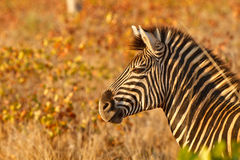 Zebra in golden light Royalty Free Stock Photography