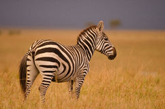 Zebra in Golden light. A Zebra on the plains of the Masai Mara in Kenya, Africa Stock Photography