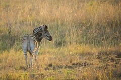 Zebra in golden light Stock Photography