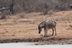 Zebra and a goose. Burchells zebra and Egyptian goose in savannah Royalty Free Stock Images