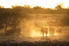 Zebra in gouden licht Geel stof royalty-vrije stock afbeeldingen