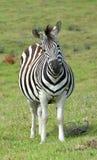 Zebra grávida com cara engraçada Imagem de Stock Royalty Free
