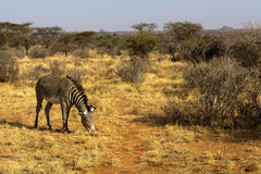 Zebra Grace on the pasture. Savanna of Samburu, Africa Stock Photography