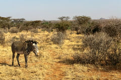 Zebra Grace in savanna. Samburu, Africa Stock Image