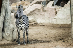 Zebra. A grant`s zebra is looking for something royalty free stock photo