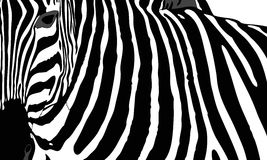 Zebra. Graphic illustration representing the mantle of a zebra Stock Images