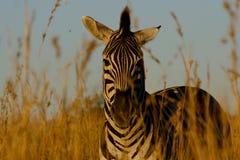 Zebra in gras Royalty-vrije Stock Fotografie