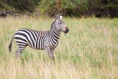 Zebra in the grasland in Kenya,on safari Stock Photography