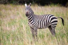 Zebra in the grasland in Kenya, safari Stock Photos