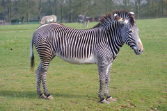 Zebra on grass Royalty Free Stock Photo