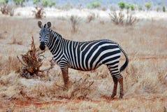 Zebra in grass. Zebra in dry yellow grass Royalty Free Stock Image
