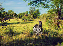 Zebra in grass on African savanna. Stock Images
