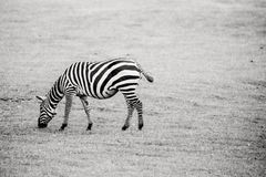 Zebra on grass Royalty Free Stock Images
