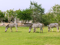 Zebra on grass field Stock Photos