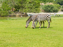 Zebra on grass field Stock Photo