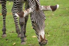 Zebra on a grass Stock Photos