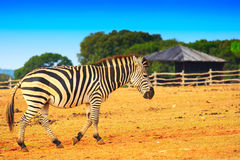 Zebra in the grassland Stock Photography