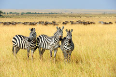 Zebra. On grassland in Africa, National park of Kenya royalty free stock photos