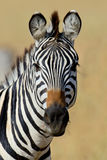 Zebra on grassland in Africa Stock Images