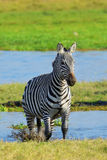 Zebra on grassland in Africa Royalty Free Stock Photo