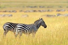 Zebra on grassland in Africa Stock Photos