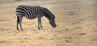 Zebra on grassland in Africa stock photos