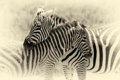 Zebra on grassland in Africa. Vintage effect Stock Photo