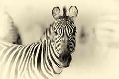 Zebra on grassland in Africa. Vintage effect Royalty Free Stock Photos